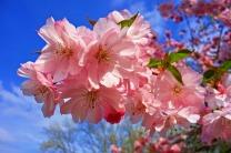cherry-blossom-3320018_1920.jpg
