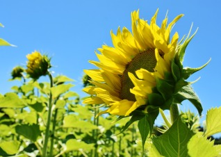 sunflower-3514915_1920.jpg